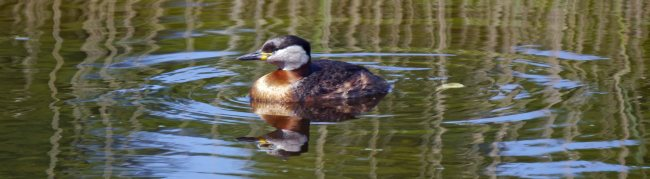 Red-necked Grebe, Kalvebod Faelled, Copenhagem, MJMcGill (35)_edited-1