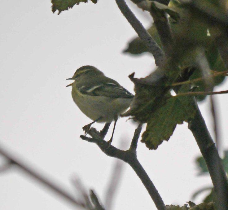 Yellow-browed Warbler, Baltasound, MJM