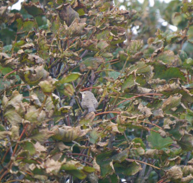 Barred Warbler, Lunna, Shetland, MJM (6)_edited-1