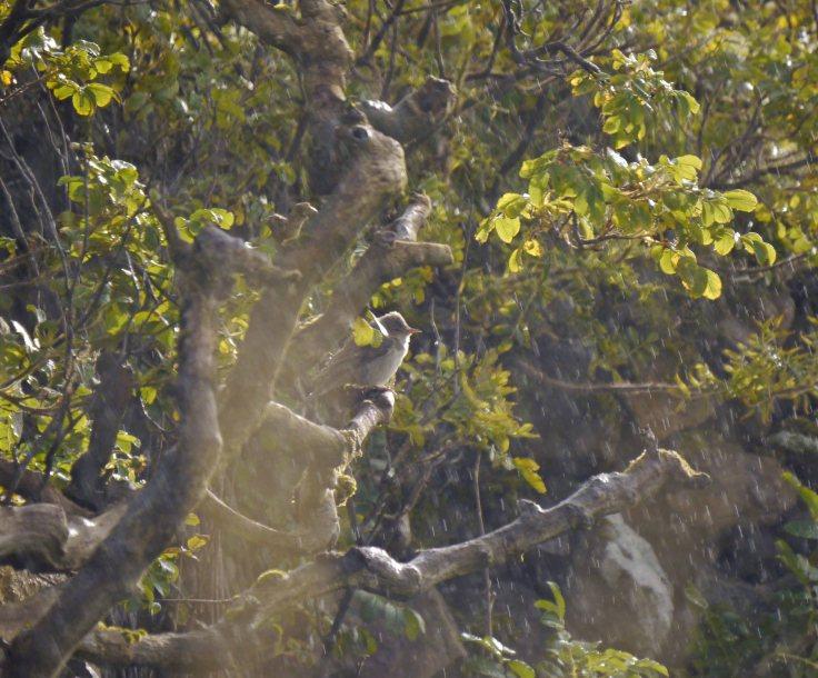 Barred Warbler, Baltasound, Unst, MJM (4)_edited-1