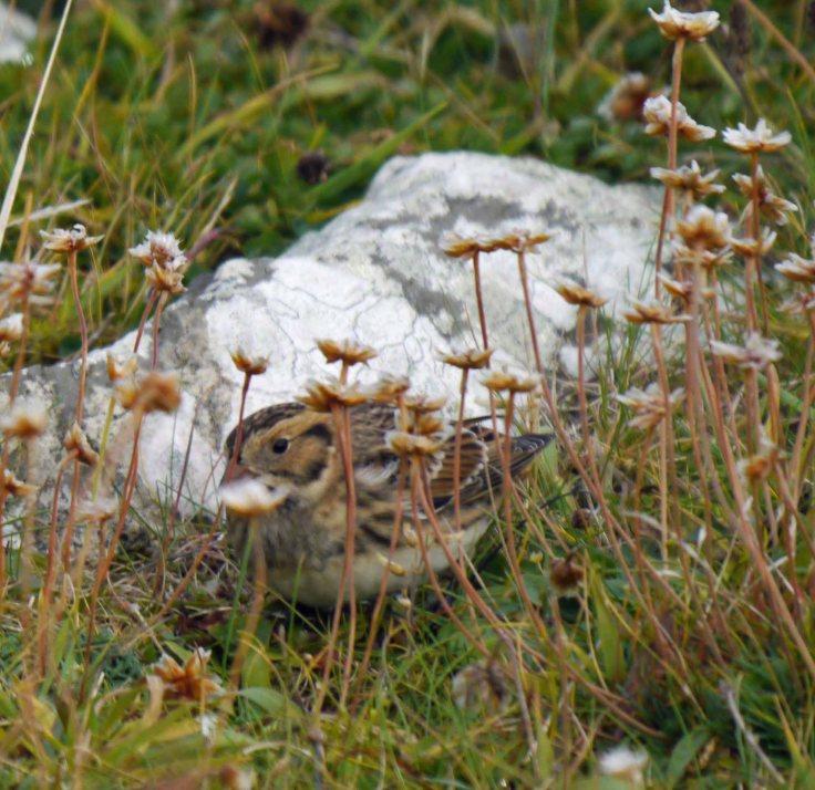 Lapland Bunting, Grutness, Shetland, MJM (2)_edited-1