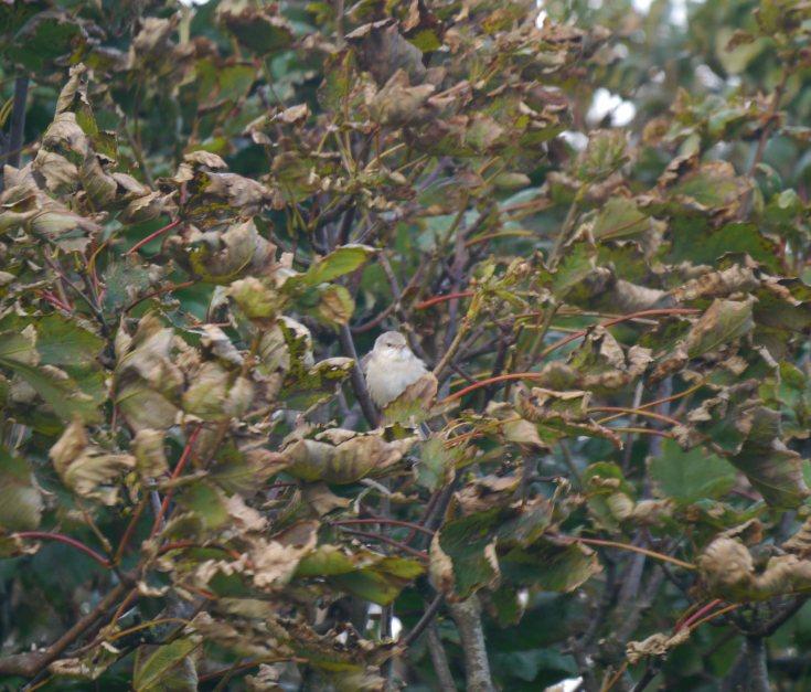 Barred Warbler, Lunna, Shetland, MJM (2)_edited-1