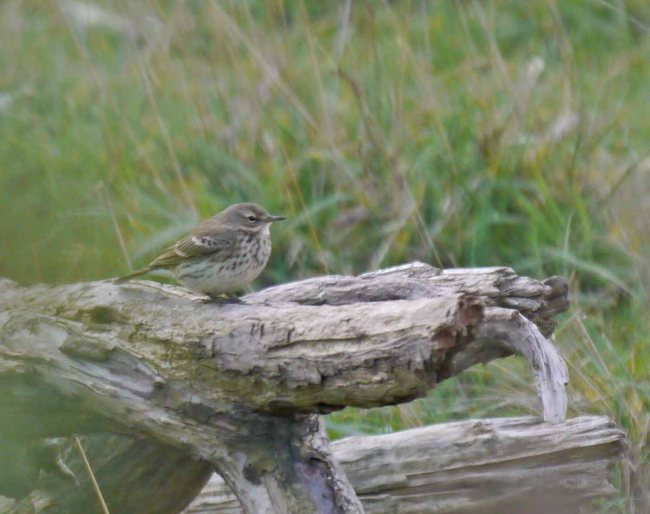 Water Pipit, Severn Estuary, MJMcGill