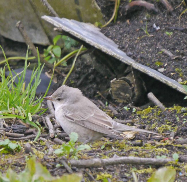 Barred Warbler, Norwick, Unst (7)_edited-1