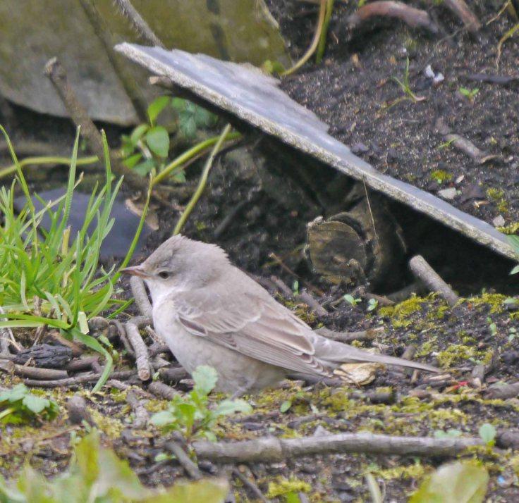 Barred Warbler, Norwick, Unst (7)_edited-1