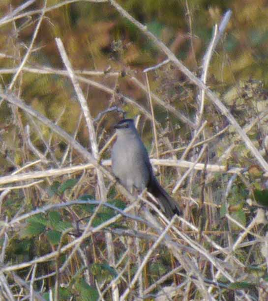 Grey Catbird, Land's End, MJM