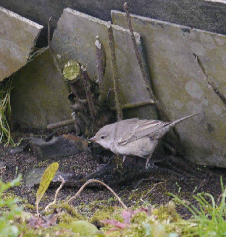 Barred Warbler, Norwick, Unst (10)_edited-1