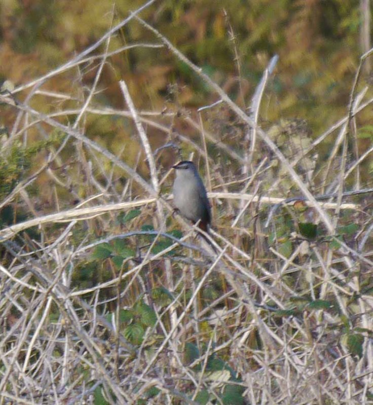 Grey Catbird, Land's End, MJMcGill