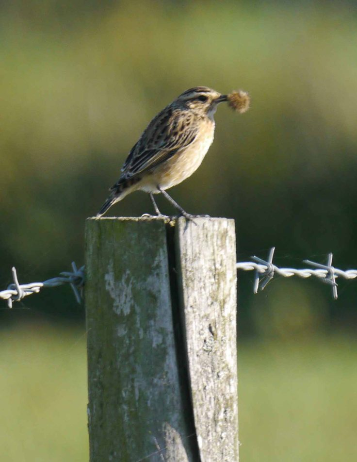 Whinchat, Four Score, Slimbridge, MJM