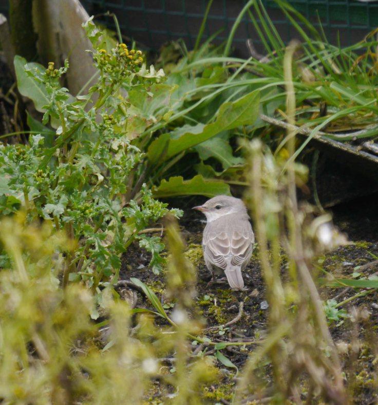 Barred Warbler, Norwick, Unst (6)_edited-1