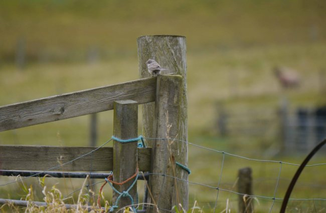 Barred Warbler, Norwick, Unst, MJM (4)_edited-1