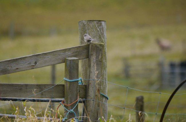 Barred Warbler, Norwick, Unst, MJM (4)_edited-1