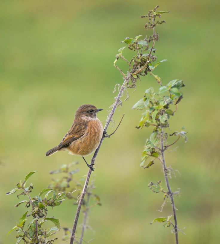 Stonechat, Hock Ditch, MJMcGill 3