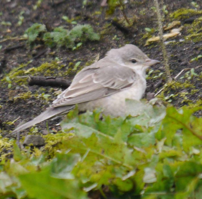 Barred Warbler, Norwick, Unst, MJM (1)_edited-1
