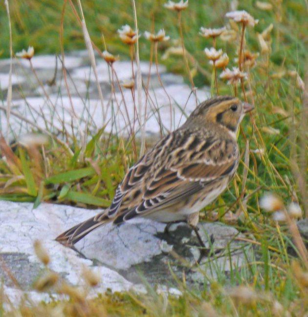 Lapland Bunting, Grutness, Shetland, MJM (7)_edited-1