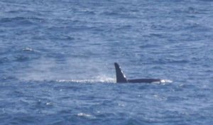 Orca (Killer Whale), Sumburgh, Shetland, MJM (6)_edited-1