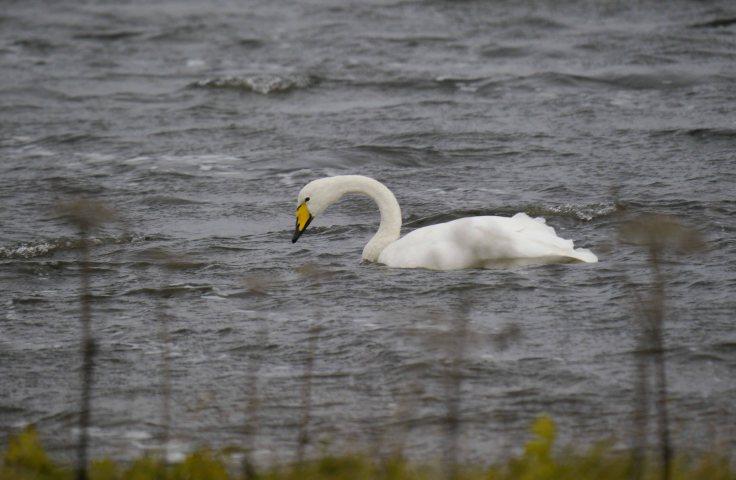 Whooper Swan, Uyeadsound, Unst (5)_edited-1