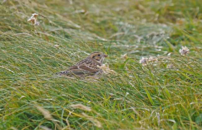 Lapland Bunting, Grutness, Shetland, MJM (5)_edited-1