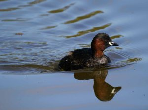 Little Grebe, South Lake, MJMcGill