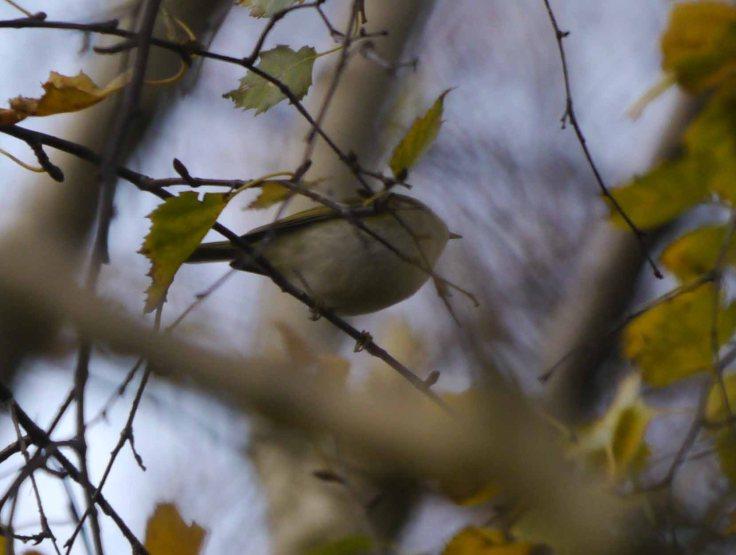 Pallas's Warbler, Wells Woods, MJM