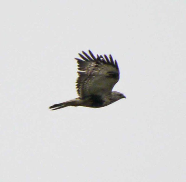 Rough-legged Buzzard, Titchwell, MJMcGill