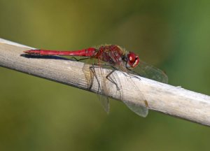 Red-veined Darter, El Hondo, MJMcGill (3)_edited-1
