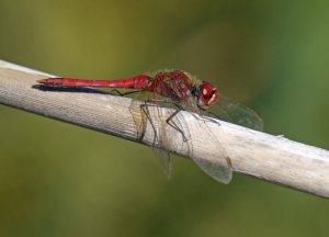 Red-veined Darter, El Hondo, MJMcGill (3)_edited-1