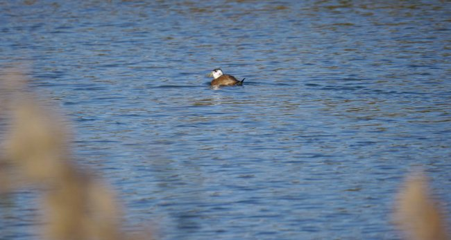 White-headed Duck, Rambla Morales, MJM (1)_edited-1