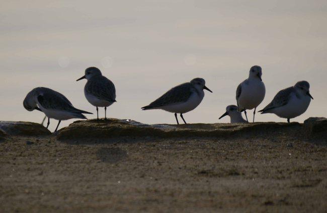Sanderling, Playa de la Mata, Mar Menor, MJMcGill (4)_edited-1