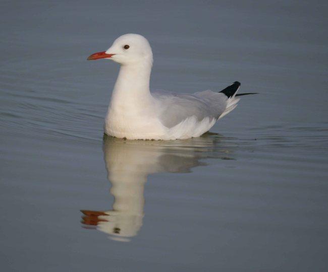 Slender-billed Gull, Las Charcas mudbaths, salinas, Mar Menor, MJMcGill (19)_edited-1