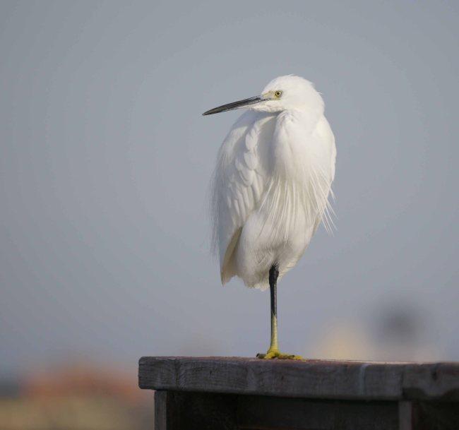 Little Egret, Mar Menor, MJMcGill (2)_edited-1