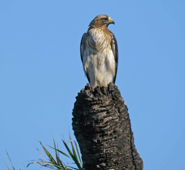 Booted Eagle, El Hondo, Elche, MJMcGill (5)_edited-1